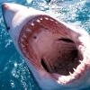 Shark Week August 2010